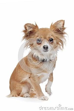 Mixed breed Chihuahua