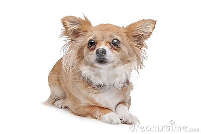 Mixed breed Chihuahua