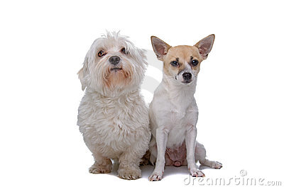 Mixed breed chihuahua and a Maltese dog isolated on a white background ...