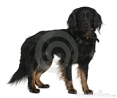 Mixed-breed dog, 3 years old, standing