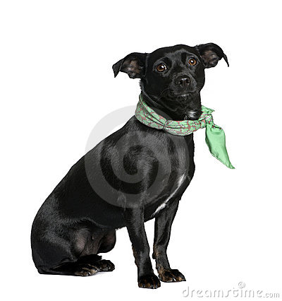 Mixed breed dog against white background