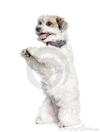 Mixed-Breed Dog between a Bichon and a Jack Russel