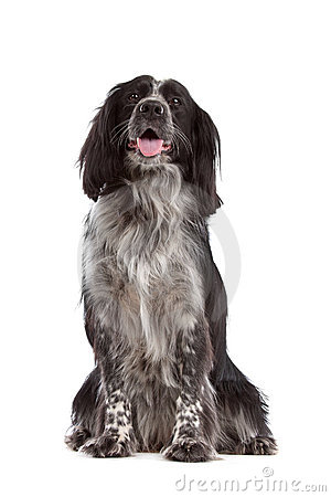 Mixed breed dog.border collie, cocker spaniel