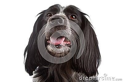 Mixed breed dog.border collie, cocker spaniel