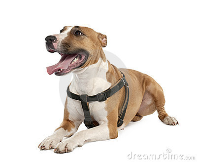 Mixed-Breed Dog between a bull terrier and a boxer
