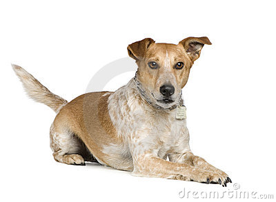 Mixed-Breed Dog fox terrier and jack russel