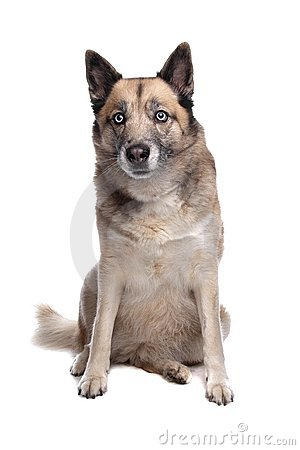 Mixed breed dog of a husky and a German shepherd