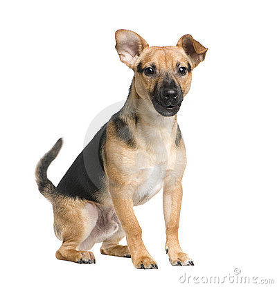 Mixed-Breed Dog between a jack russel and a pinsch
