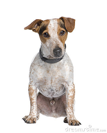 Mixed-Breed Dog, jack russell, Dachshund