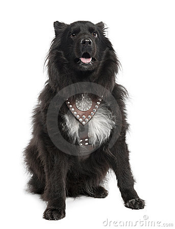 Mixed-Breed Dog between keeshond and a sheltie (6