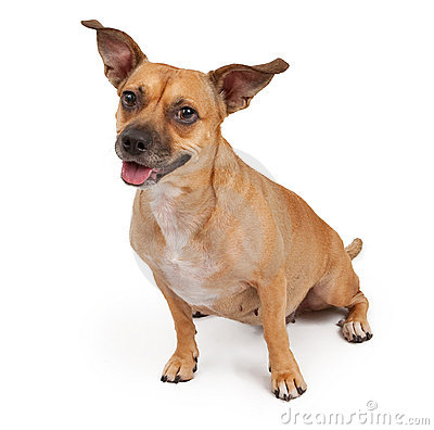 Mixed Breed Dog with Perky Ears