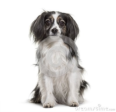 Free Mixed-breed Dog Sitting Against White Background Royalty Free Stock Photo - 116861665