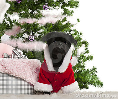 Mixed-breed dog wearing Santa outfit