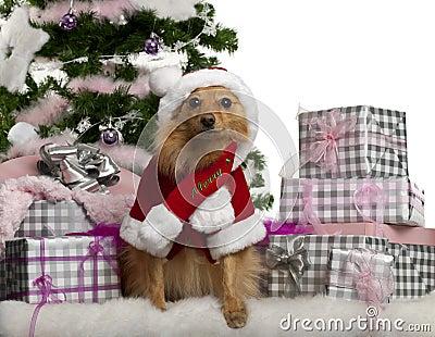 Mixed-breed dog wearing Santa outfit
