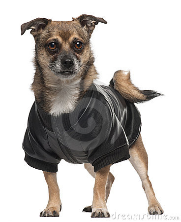 Mixed-breed dog wearing shirt, 6 years old