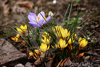 Mixed Crocus Flowers