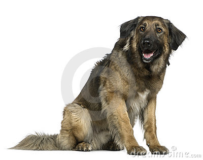 Mixed German Shepherd dog, 3 years old, sitting