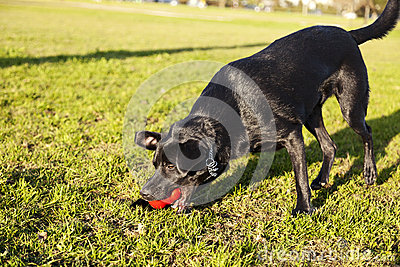Labrador Fetching Dog Chew Toy at Park