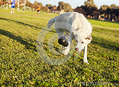 Labrador Fetching Chew Toy in Park