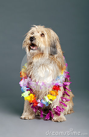 Mixed-Race Dog with Hawaii Necklace in Studio