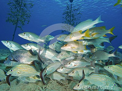 Mixed school of snappers and grunts
