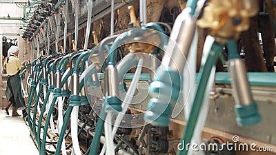 Mjölka kor på en modern lantgård med mjölkerskor och utrustning för att mjölka kor, jordbruk och bransch, lantbruk som mjölkar lager videofilmer
