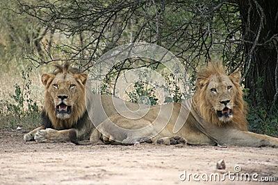 Männliche Löwen