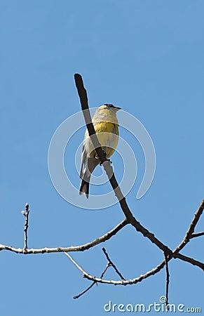 Männlicher amerikanischer Goldfinch