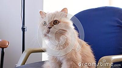 Moção de gato persa esperando por comer um lanche na cadeira vídeos de arquivo