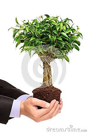 Mão que prende um Ficus Benjamin da planta