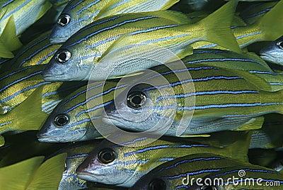 Mocambique Indiska oceanenskola av närbilden för bluestripesnappers (Lutjanuskasmira)