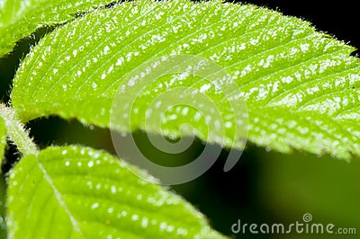 Mock-strawberry leaf
