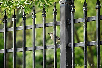 Mockingbird and iron fence