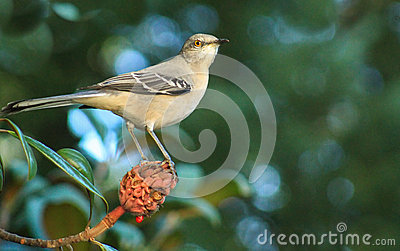 Mockingbird W Magnolia Bud Stock Photo
