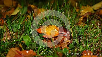 Moczy spadać liście na trawiastej ziemi, jesieni nieżywy folliage zbiory wideo