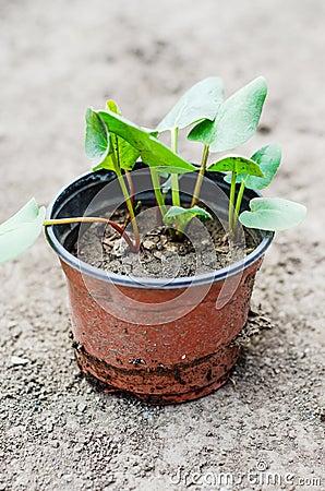 Młode rabarbarowe rośliny