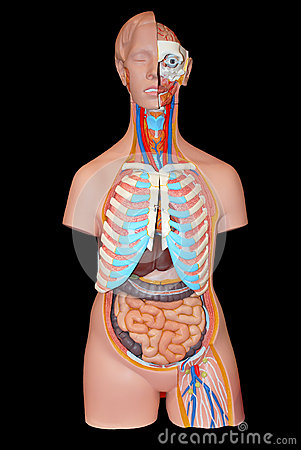 Model of an arrangement of internal bodies