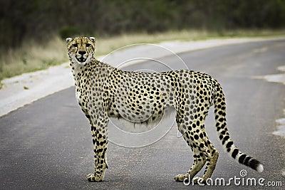 Model Cheetah