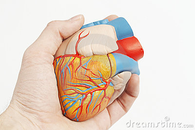 Model of a human heart in a real hand