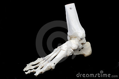Model of a skeletal foot