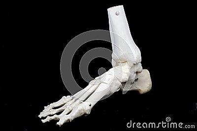 Model of a skeletal foot