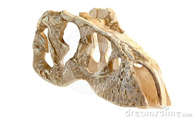 Model Tyrannosaurus head