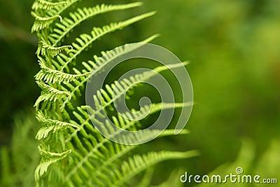 Modelo de las hojas del helecho, uso como fondo