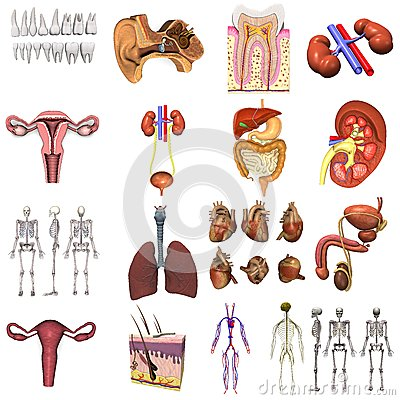 17 models of organs