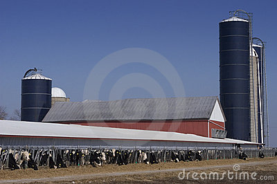 Modern Wisconsin Dairy Farm and Milk Cows