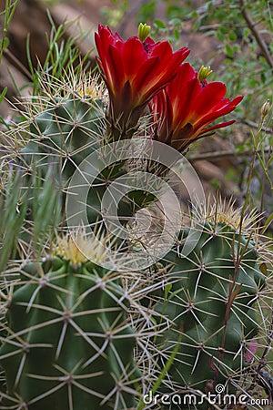 Free Mojave Mound Cactus - Echinocereus Triglochidiatus Stock Photos - 41063423
