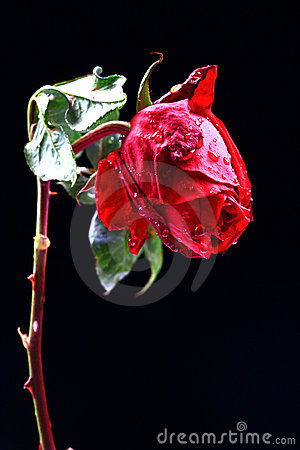 Mokra miłości róża