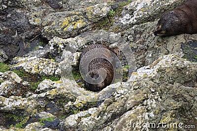 Mokre futerkowe foki