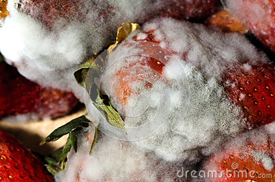 Mold strawberries Stock Photo
