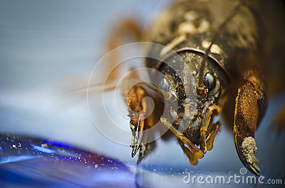 Mole cricket close up